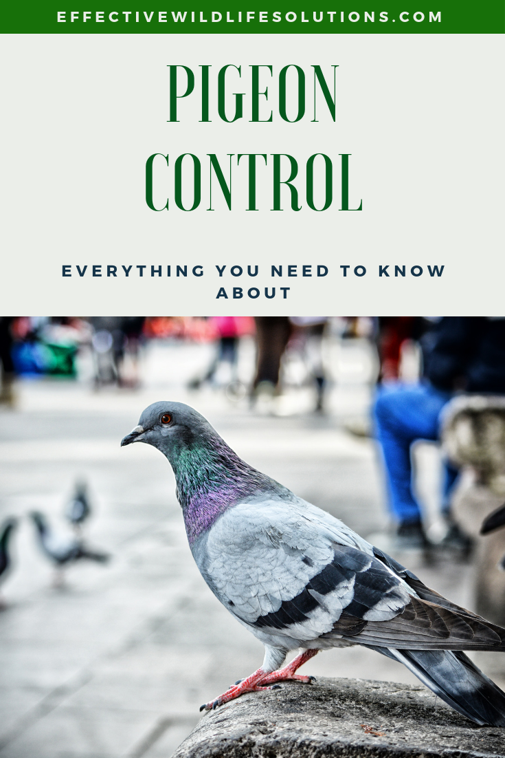 Are you tired of pigeons coming into your yard? If so