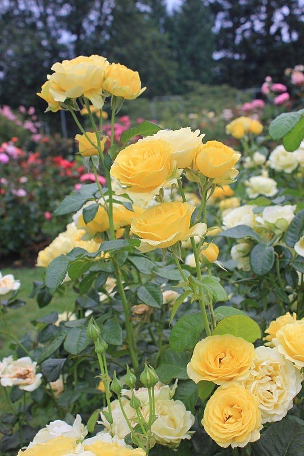 ️Yellow Roses Belas flores, Flores