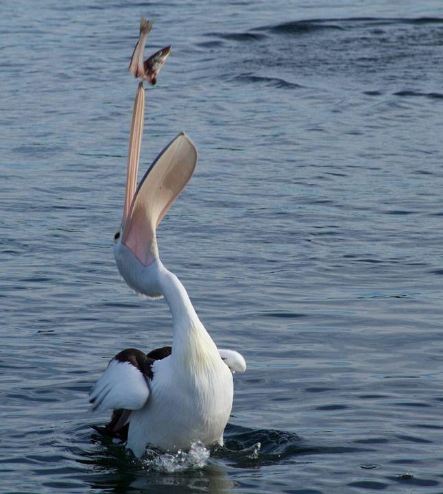 Imagen Gratis En Pixabay Pelicano Captura Peces Animales Animals Pelican Catching Fish