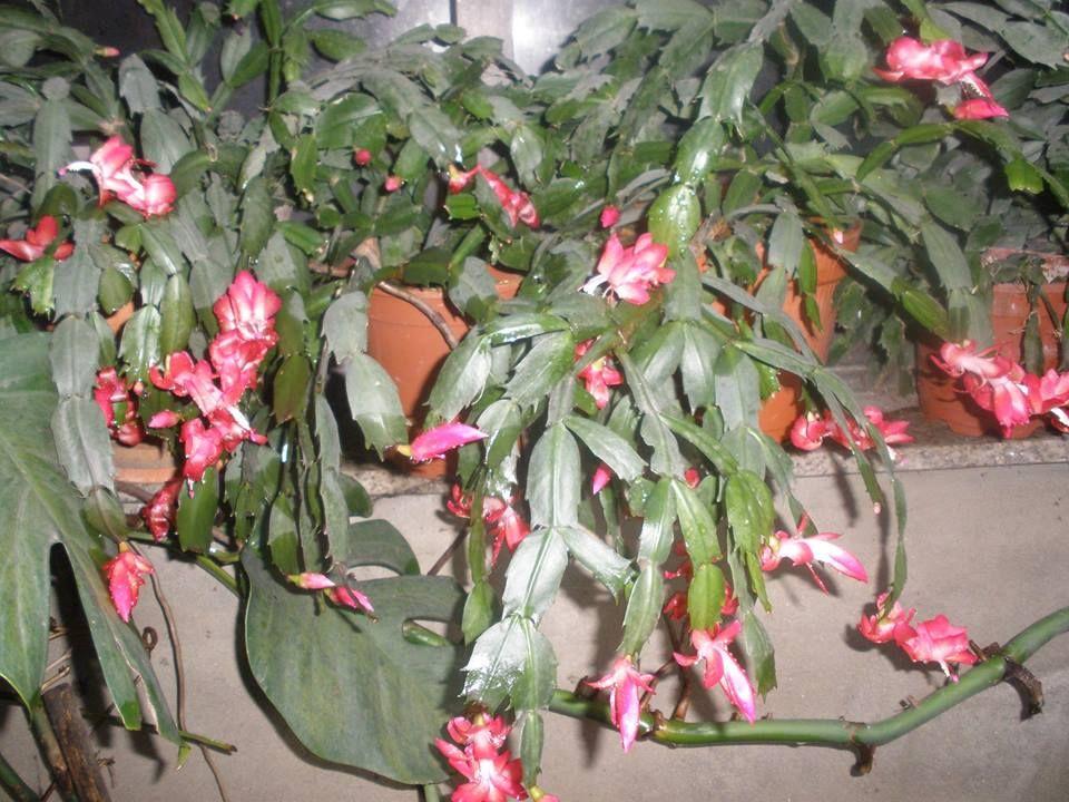 Echeveria Lemon rose   Suculentas, Cactos e suculentas, Cactos
