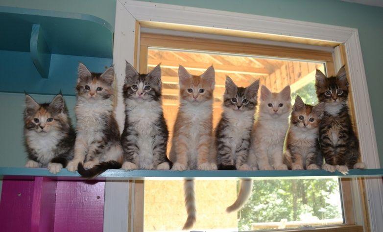 Park Art|My WordPress Blog_Maine Coon Tabby Mix Kittens For Sale Portland Oregon