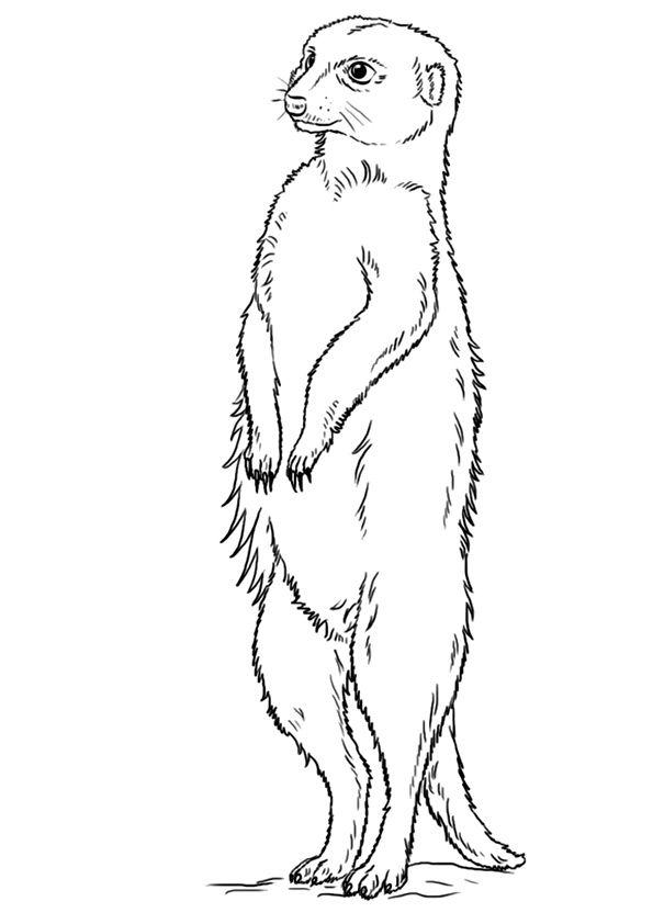 Top 10 Meerkat Coloring Pages With Images Coloring Pages