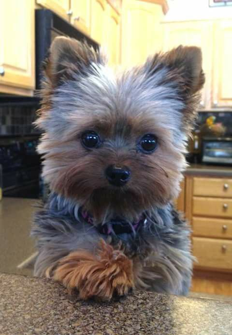 My Baby Fur Babies Pinterest Dogs Puppies And Yorkie