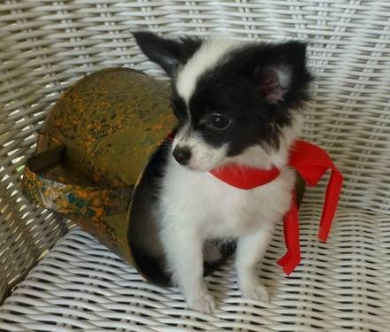 Beautiful Black White Long Hair Chihuahua Male Puppy See Puzzels