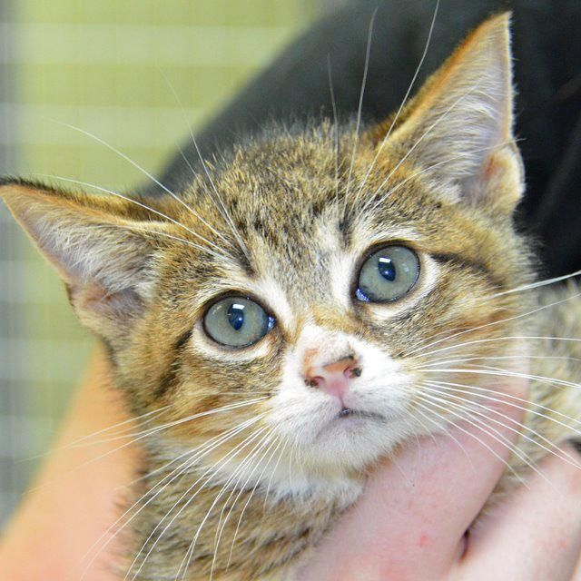Ben is an 8 week old male Domestic Short Hair. This boy
