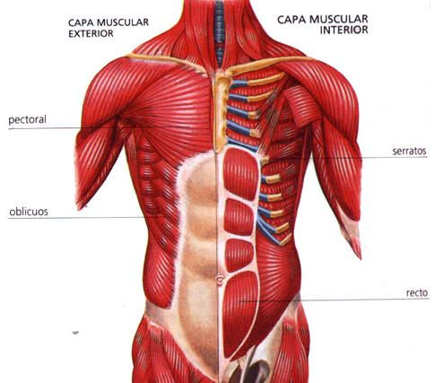 partes del abdomen musculos
