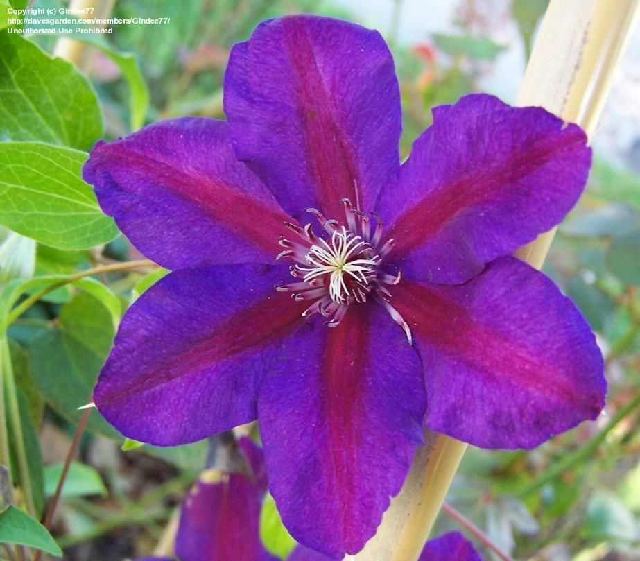 'Mrs. N. Thompson' (Clematis)