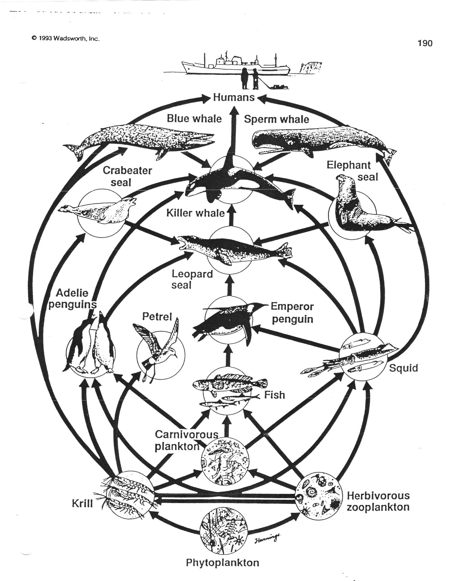 Simplified Antarctic Food Web