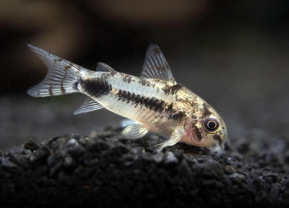 Salt And Pepper Pygmy Cory Catfish Corydoras Habrosus Tank Raised In 2020 Cory Catfish Catfish Fresh Water Fish Tank