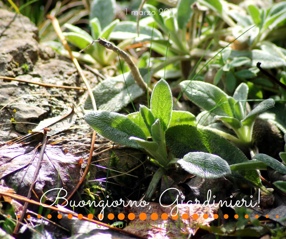 stachys lanata - un giardino in diretta