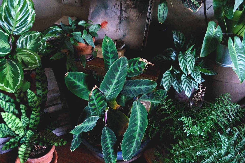 Maranta Fascinator LIve Tropical Vivarium Terrarium House Plant
