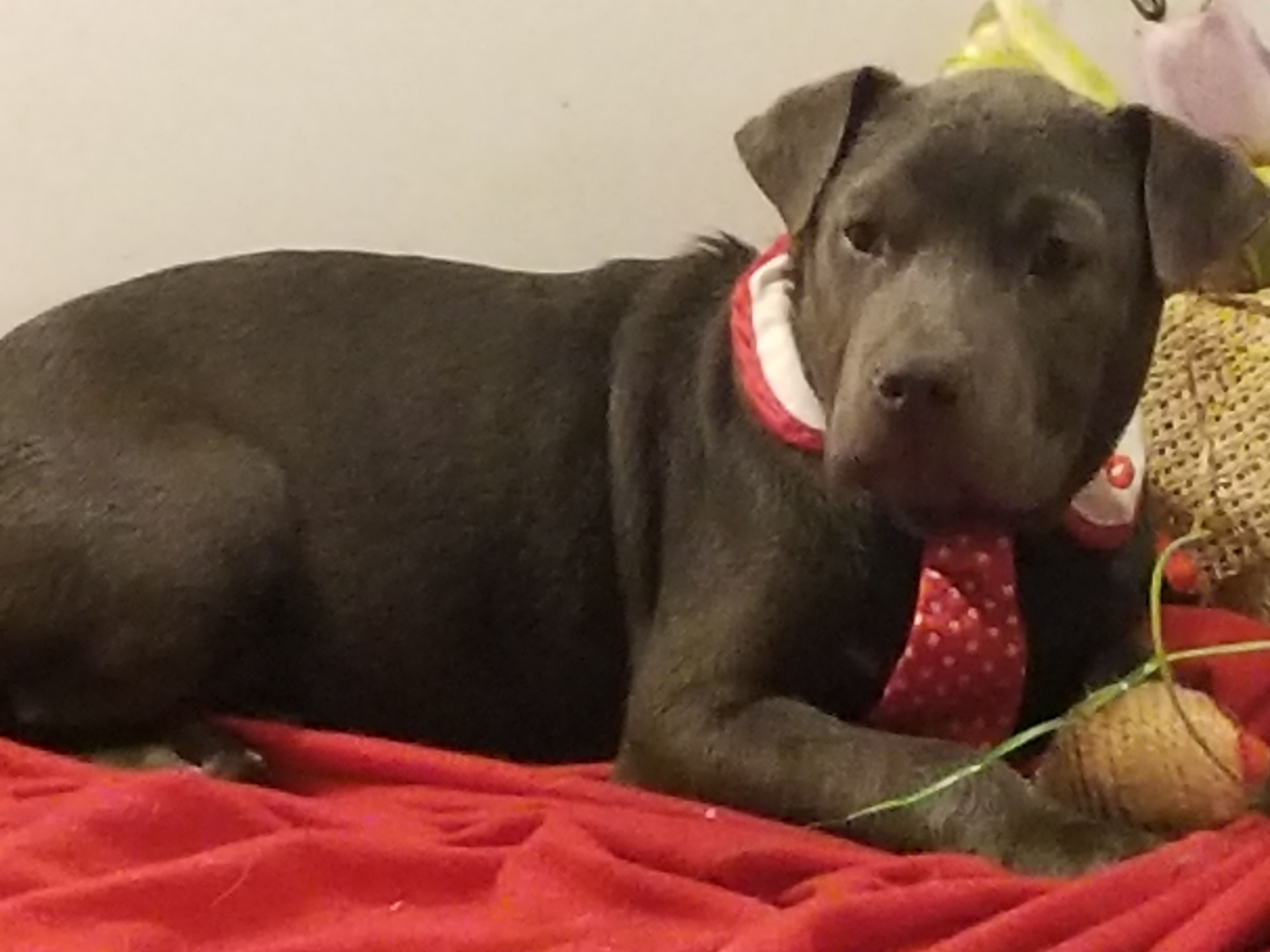 Chinese Shar Pei Dog For Adoption In Vacaville Ca Adn 726359 On