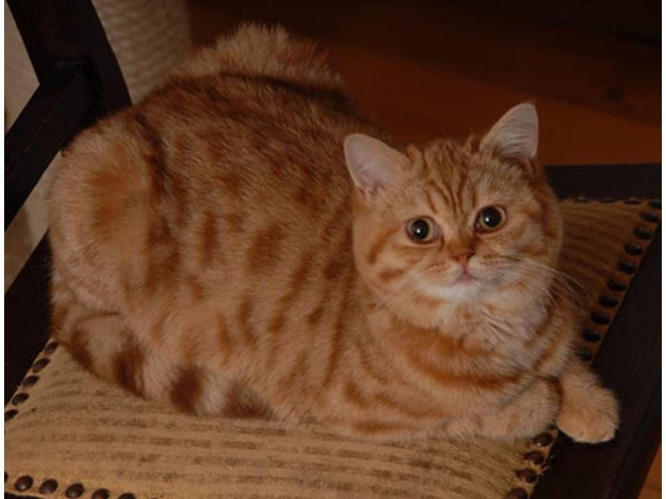 Estee Von Grigoleit British Shorthair Cinnamon Golden Spotted