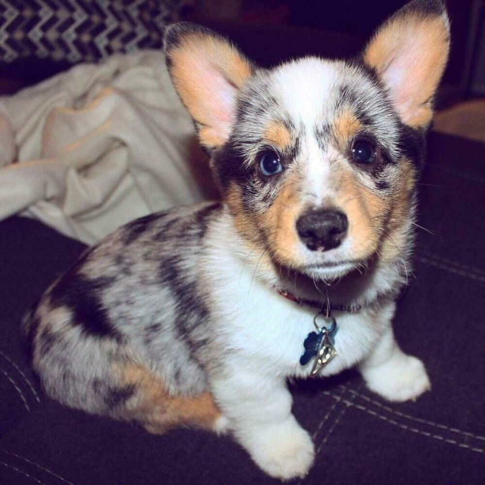 All That Bobby The Baby Corgi Has To Do Is Show That Cute Little