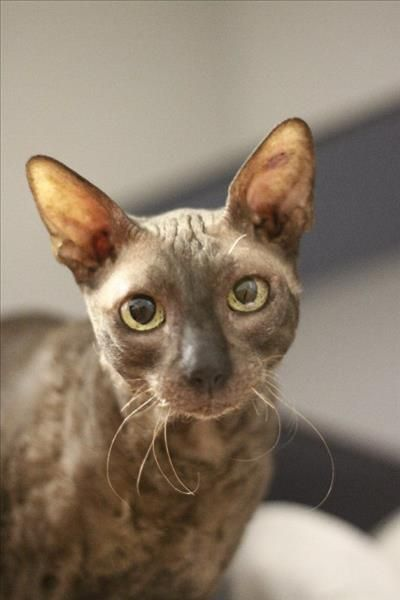 Meet Sammi The Cornishrex He Is One Of A Few Currently Looking For A Home At Our Brisbane Rspca Animal Care C Fluffy Animals Animals