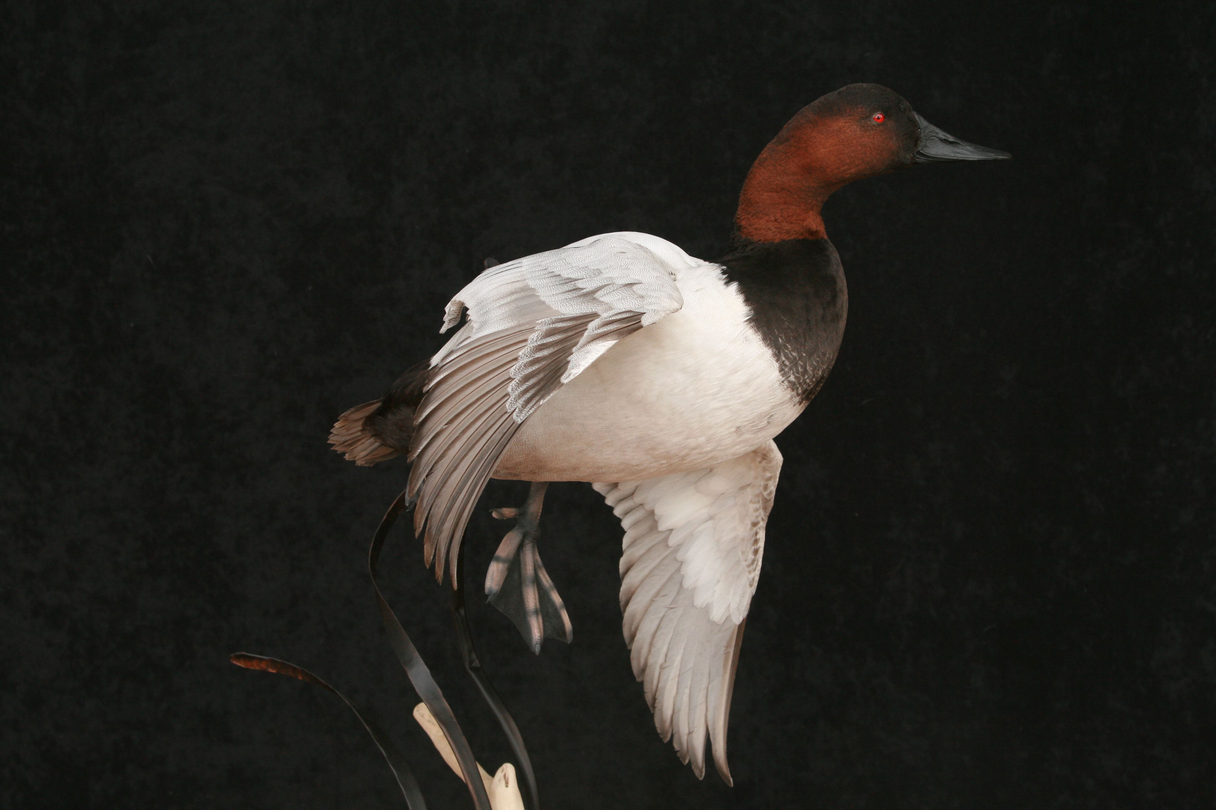 Hope My Canvasback Looks This Good Waterfowl Taxidermy