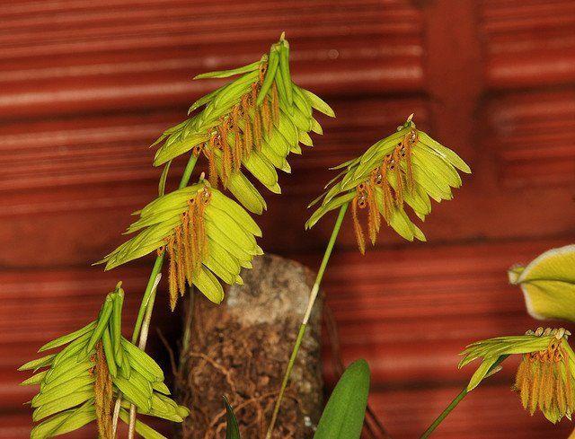 Bulbophyllum aciniatum
