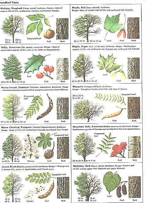 How can leaves identify a tree phenology science with for Minimalist living guide pdf