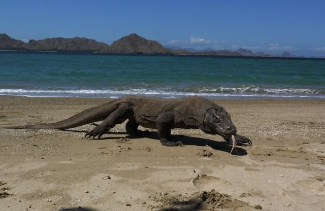 Komodo Dragons can grow to a size of up to 10 feet long.