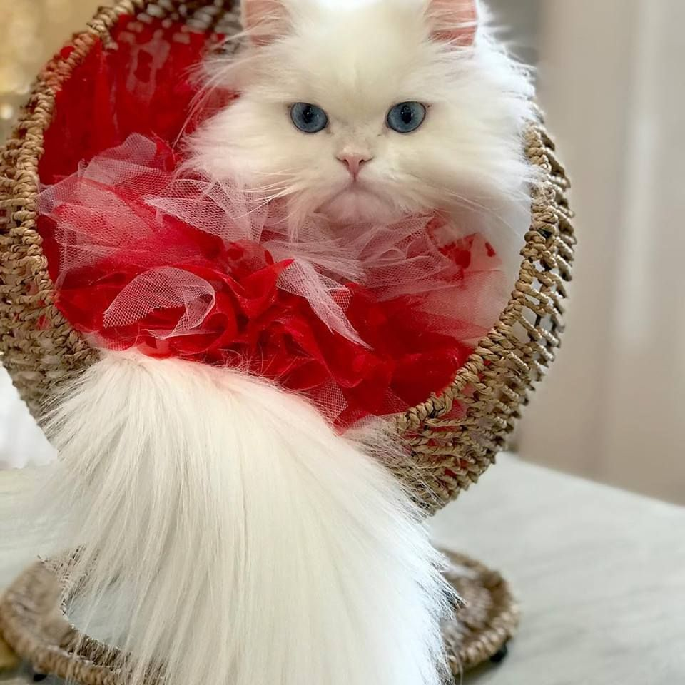 Cat Valentine S Day Pretty Cats Cat Valentine Cats