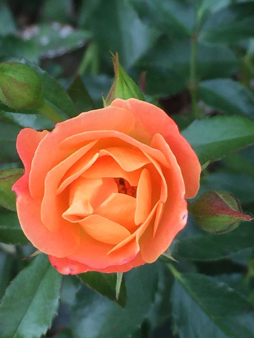 Knockout Roses Feature Sturdy Foliage Blooms Drought Tolerant Matures To A 3 X 3 Winter Hardy In Zones 5 9 Knockout Roses Trees To Plant Garden Shrubs