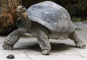 Imagine This Beauty Walking Casually Around The House Totally Normal Galapagos Tortoise Tortoises Giant Tortoise