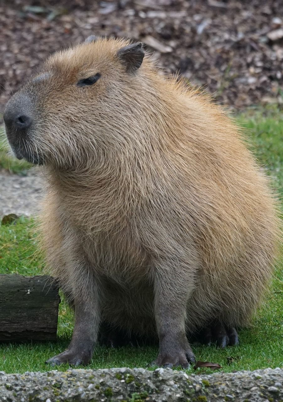 Meet the largest rodent in the world Nature animals
