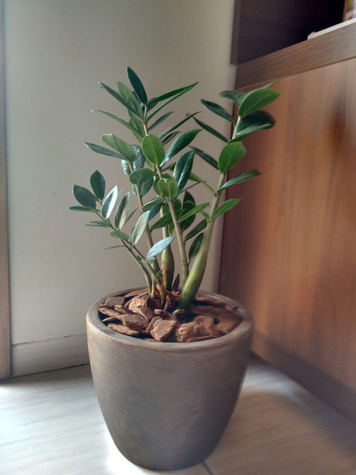 Zz Plant Poisonous