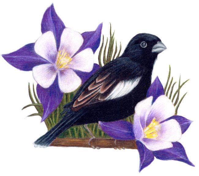 Colorado State Bird And Flower Lark Bunting Calamospiza Melancorys