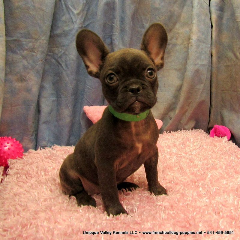 Chocolate French Bulldog Babies 2 Girls And 2 Boys Still Available Located Between Eugene An French Bulldog Breeders French Bulldog Bulldog Puppies For Sale