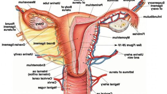 Human Female Reproductive System Parts And Functions Human Female