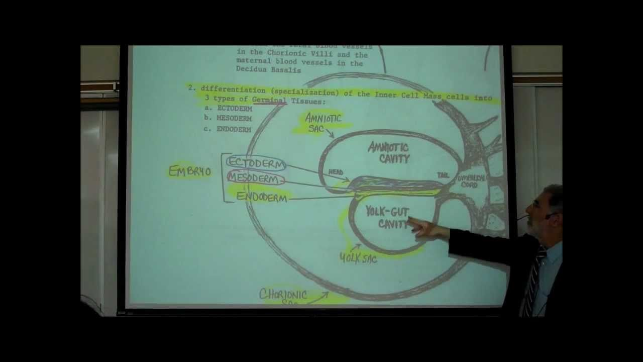 INTRO TO HUMAN EMBRYOLOGY; PART 1 by Professor Fink | A&P videos ...