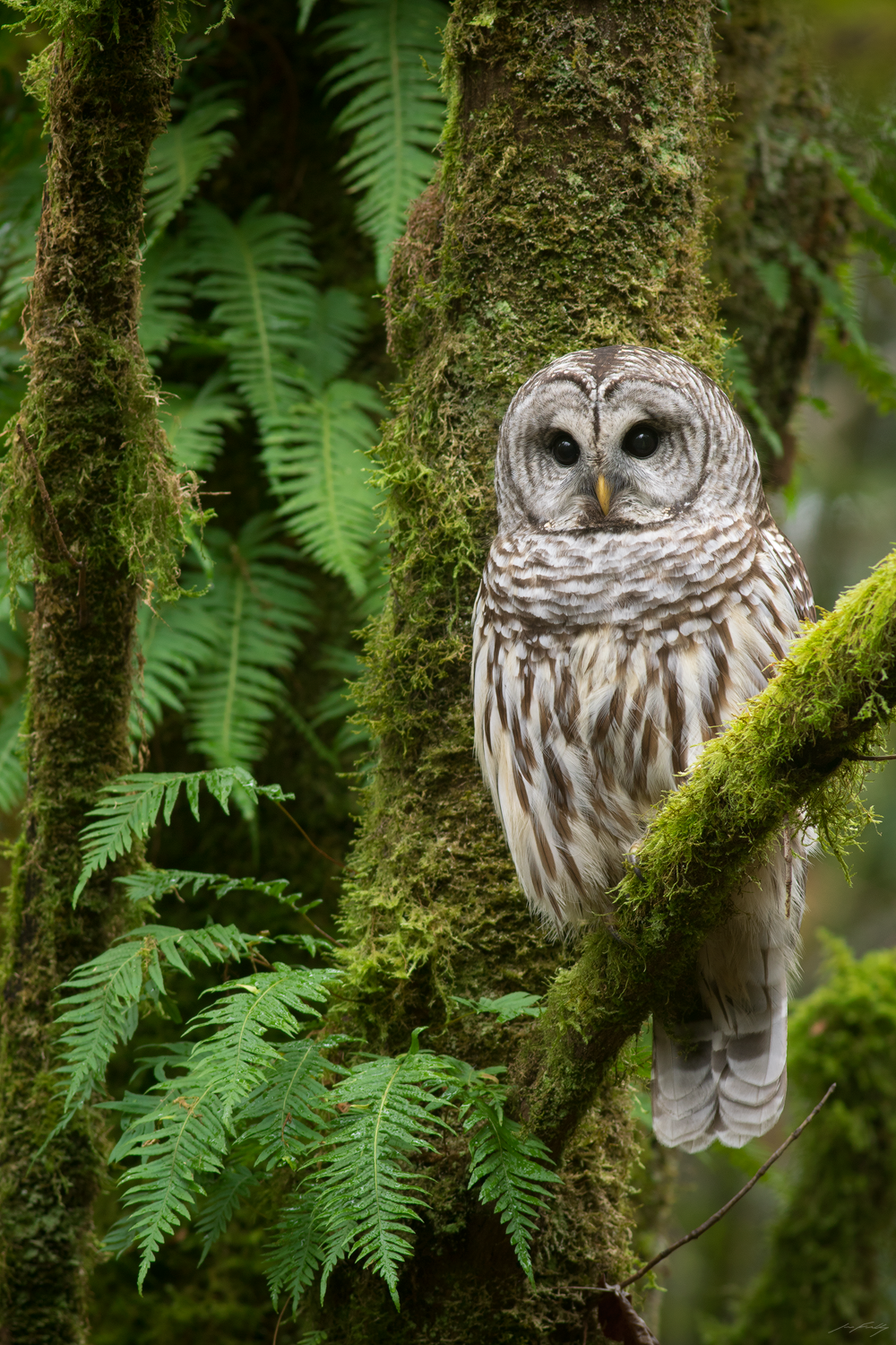 A Barred Owl perched amongst moss and licorice ferns in