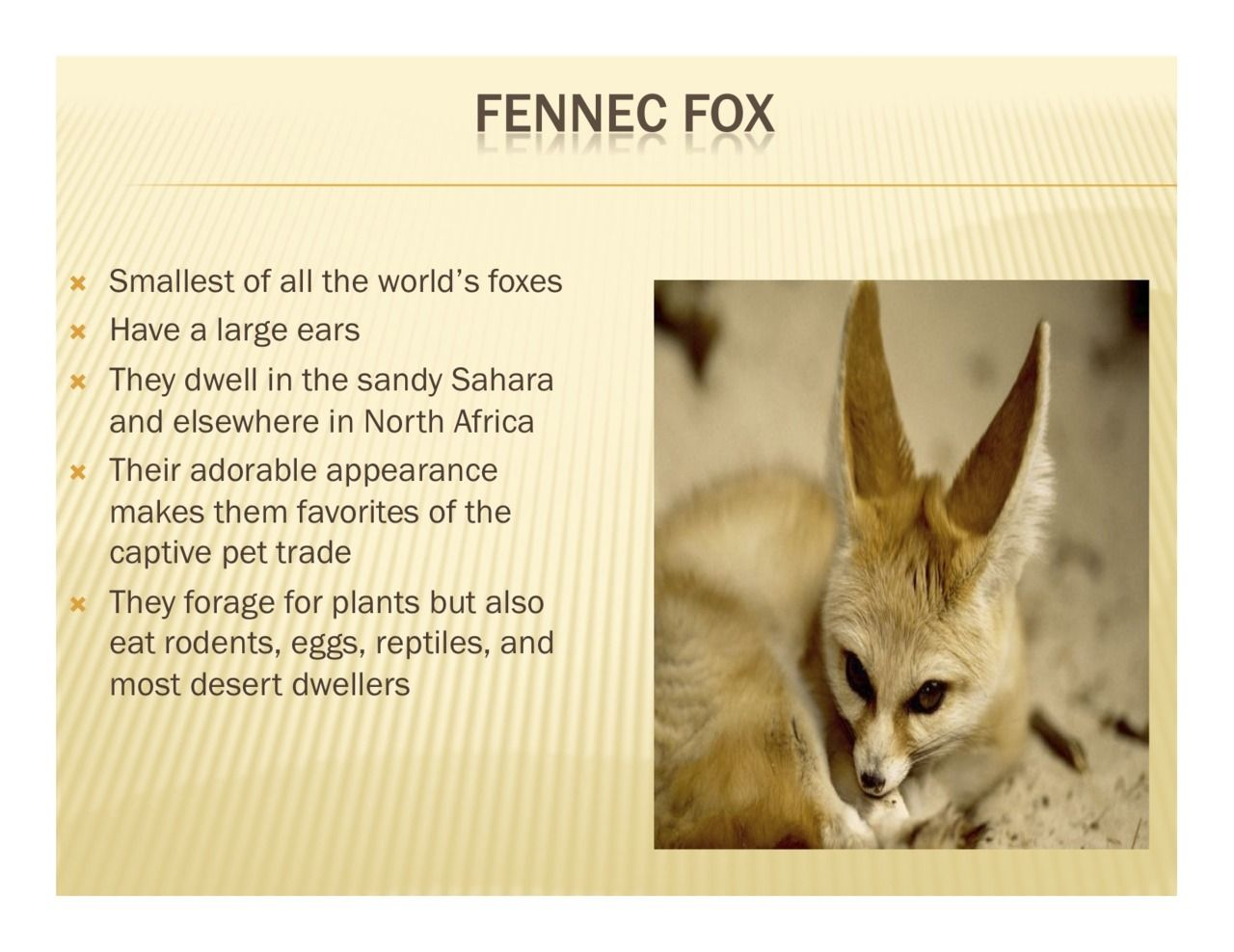 Why are they endangered fennec fox - Google Search