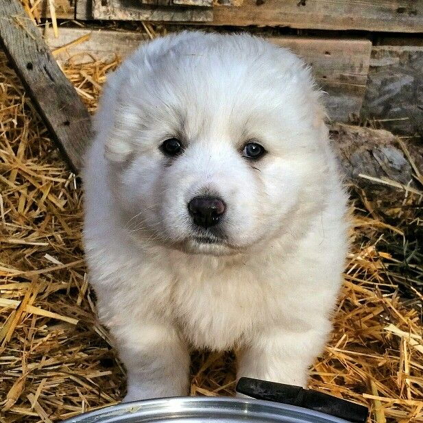 Great Pyrenees Puppy 5 Weeks Old Great Pyrenees Big Dog Breeds