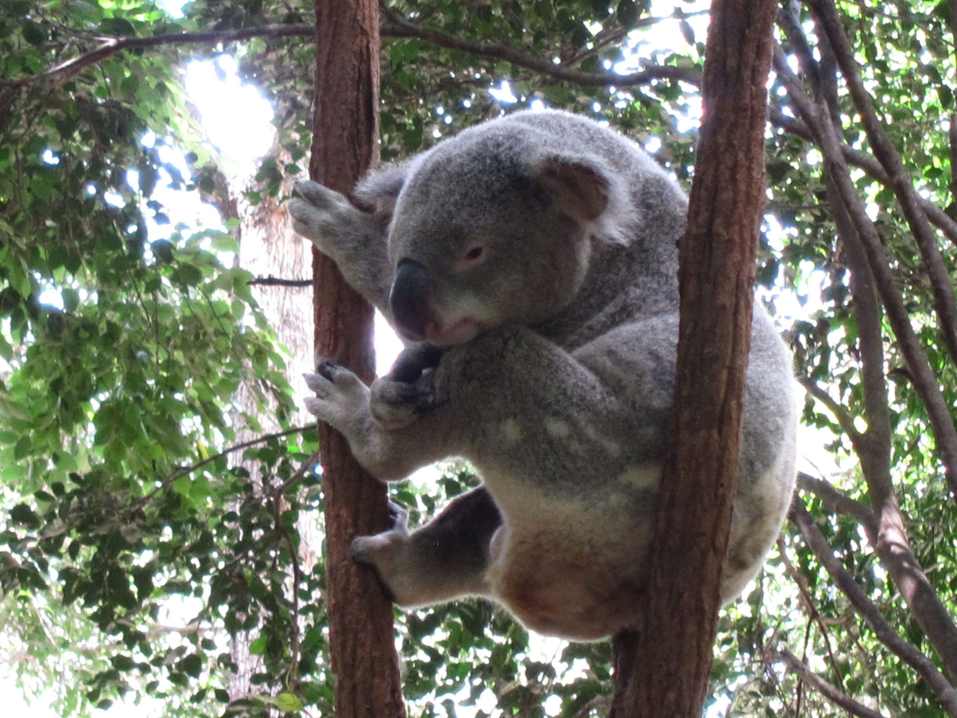 15++ Koala golf tours ideas