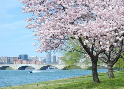 The Cherry Blossom S Meaning Cherry Blossom Meaning Blossom Trees Summer Lawn Care