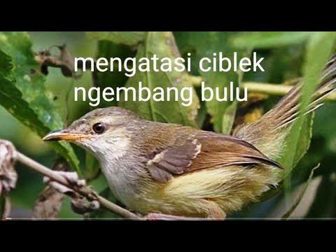 50 Gambar Gpscoy Terbaik Di 2020 Murai Burung Peliharaan Mogok Makan