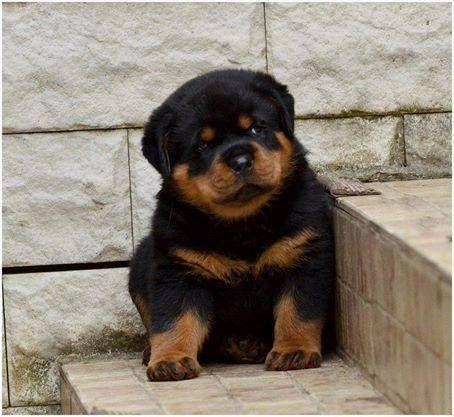 Pin by Amanda Puckett on Puppies!!!!! Rottweiler