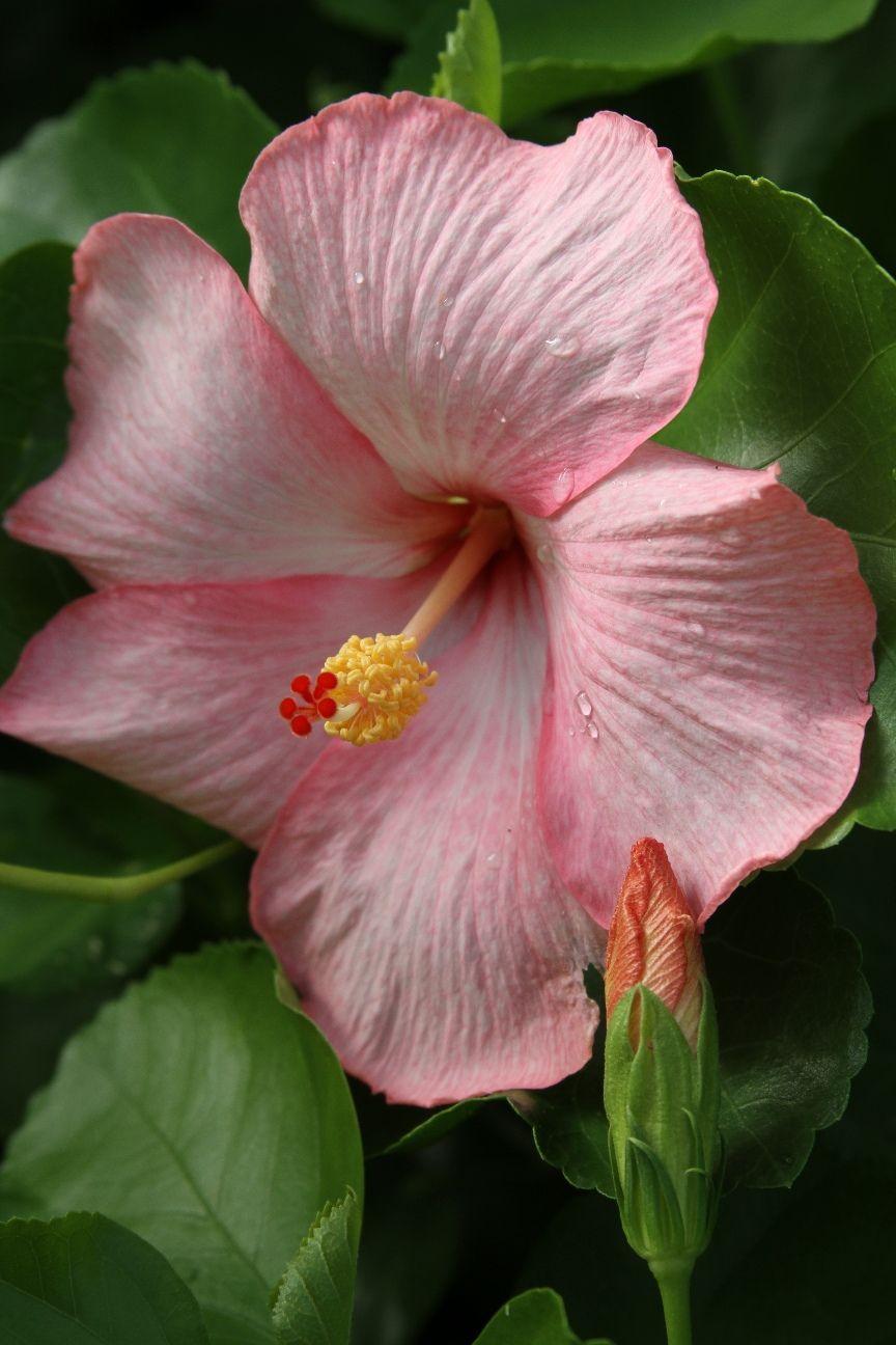 Hibiscus Rosa Sinensis Amour Hibiscus Hibiscus Rosa Sinensis Plants Hibiscus