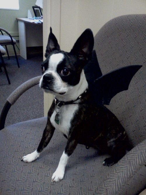 From Yesterday My Sweet Boston Terrier Beans In Her Costume Bat