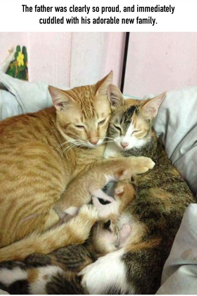 Cat Dad Won T Leave Mom S Side As Their Kids Are Being Born Cat Having Kittens Kittens Cutest Cat Birth