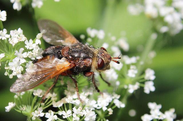 Kostenloses Foto: Fliege, Insekt, Blüte, Makro - Kostenloses Bild auf Pixabay - 795441