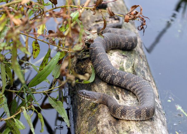 Nerodia sipedon - Northern Water Snake -- Sighted: New York, etc.
