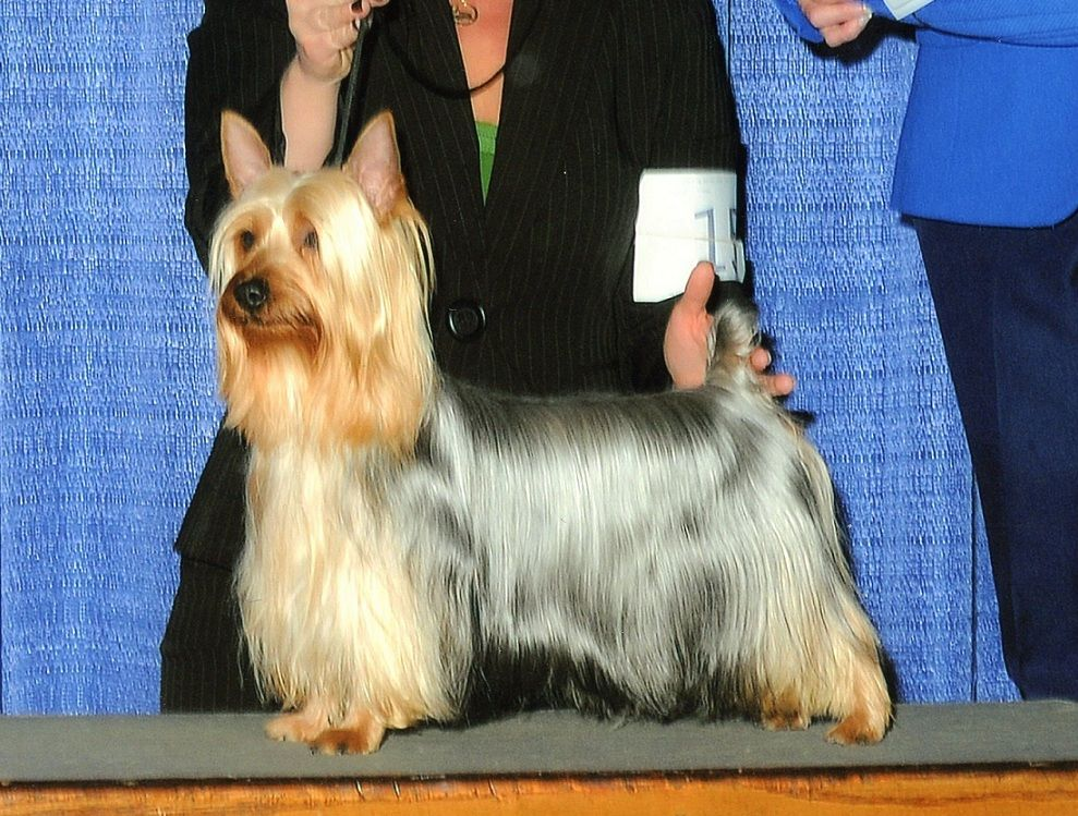 Silky Terrier Grand Champion Tawny Mist Tumtation Strikes