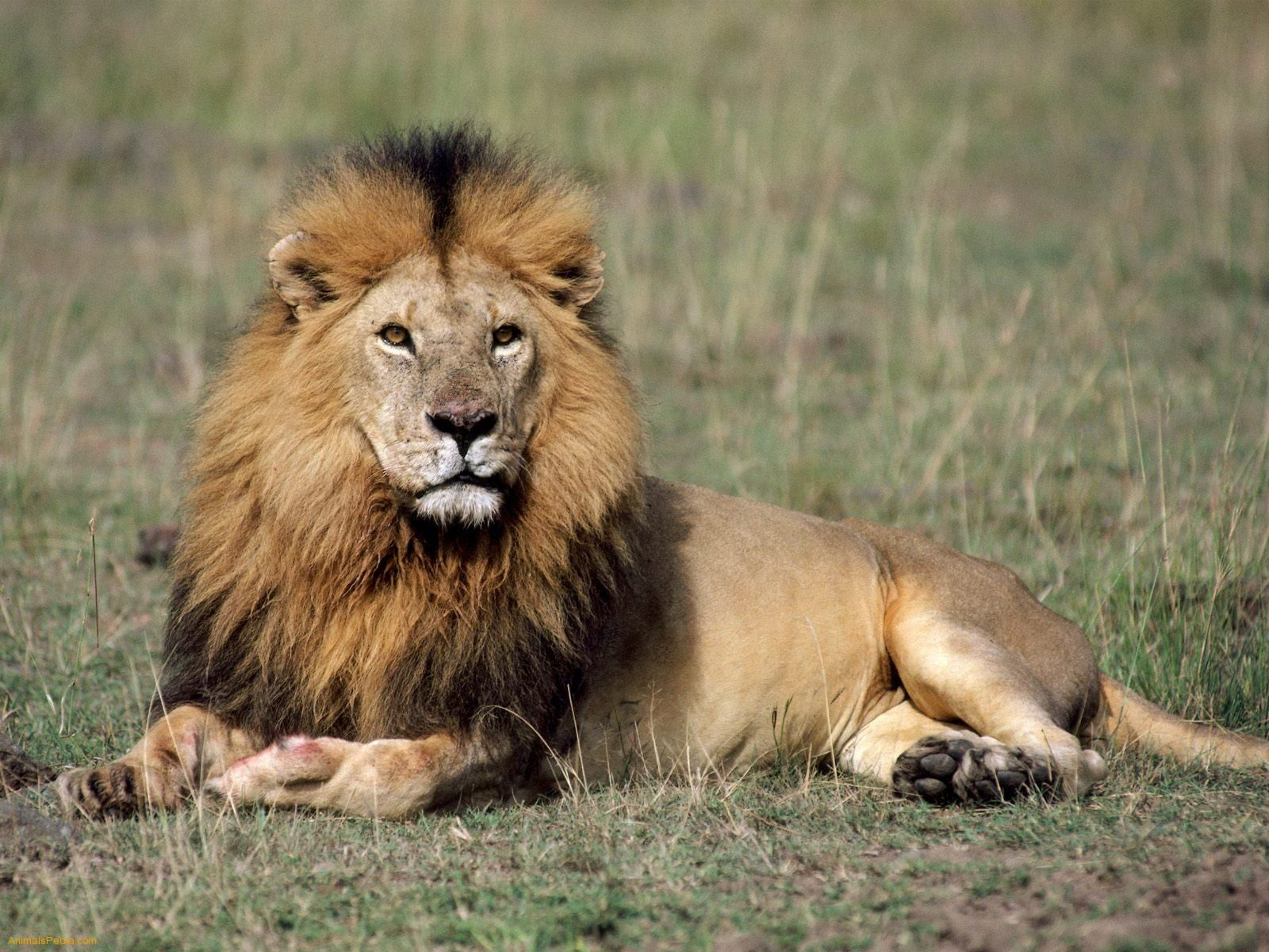 10 different types of lions with fact and pictures lions male