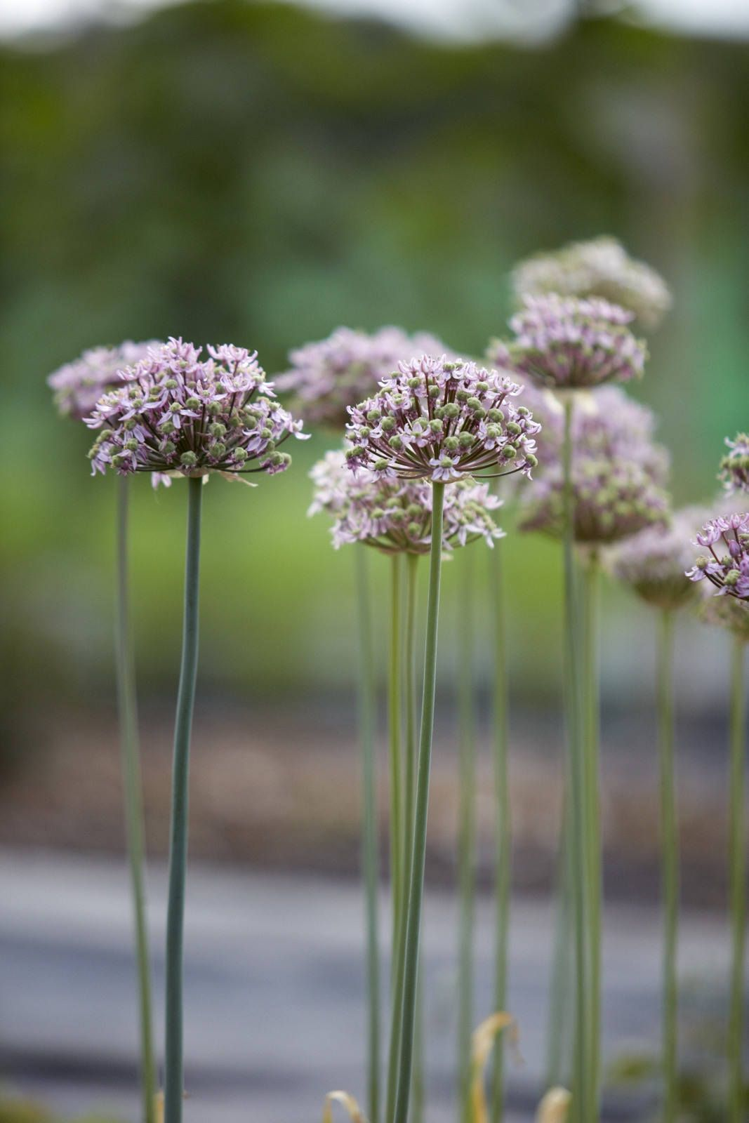 Everything You Need To Know About Ornamental Alliums Gardenista Chive Flower Flowers Perennials Cottage Garden Plants