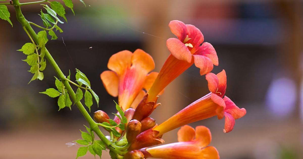 Trompetenblume: Exotischer Kletterstrauch