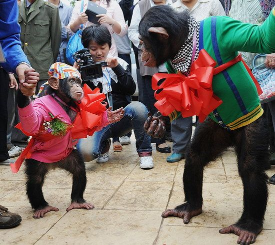 Chimps with big red bows
