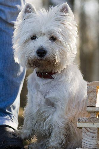 Elizabeth Bettik Westies White Terrier Terrier Dogs
